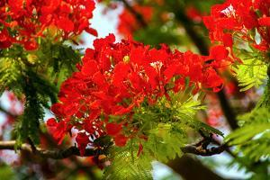 Bright Red Orange Flame Tree Green Fern Leaves by William Perry