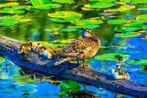 Female mallard duck and baby ducks, Juanita Bay Park, Kirkland, Washington State by William Perry