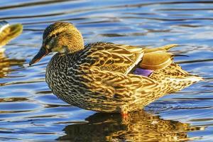 Female mallard duck, Juanita Bay Park, Kirkland Washington State by William Perry