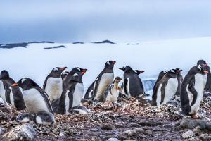 Gentoo Penguin rookery, Yankee Harbor, Greenwich Island, Antarctica. by William Perry