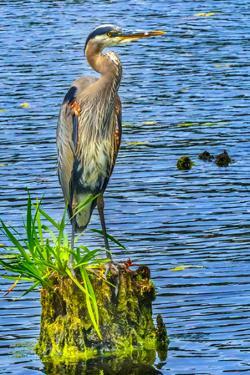 Great blue heron (Ardea herodias), Juanita Bay Park, Kirkland, Washington State by William Perry