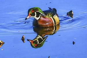 Male Carolina duck, Juanita Bay Park, Kirkland, Washington State. by William Perry