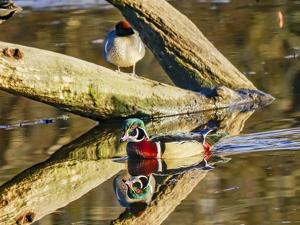 Male Carolina duck swimming, Juanita Bay Park, Kirkland, Washington State. by William Perry