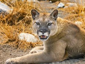Mountain Lion, Cougar, Puma concolor. by William Perry