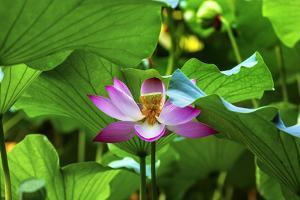 Pink Lotus Flower Stamen Lily Pads Close-Up Lotus Pond Summer Palace, Beijing, China by William Perry