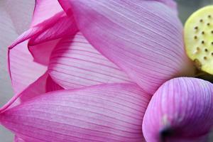 Pink Lotus Petal Bud Close-Up Macro Hong Kong Flower Market by William Perry
