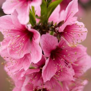 Pink Peach Blossoms Close-Up Macro Village, Chengdu, Sichuan, China by William Perry