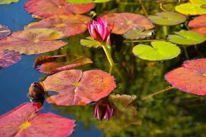 Pink Water Lilly Pond Reflection Mission San Juan Capistrano Garden California by William Perry