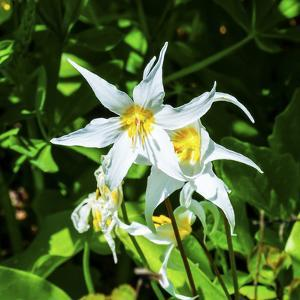 White Avalanche Lily Erythronium Montanum wildflower. Mount Rainier National Park, Paradise, Washin by William Perry