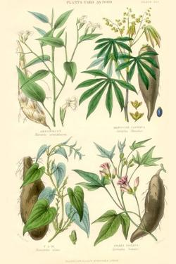 Plants Used as Food. Arrow Root, Cassava, Yam, Sweet Potato by William Rhind