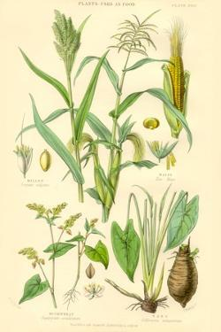 Plants Used as Food. Millet, Maize, Buckwheat, Taro by William Rhind