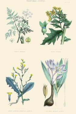 Vegetable Poisons. Common Hemlock, Henbane, Strong Scented Lettuce, Meadow Saffron by William Rhind