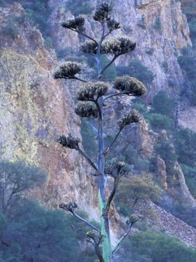 Agave, Century Plant, Big Bend National Park, Texas, USA by William Sutton