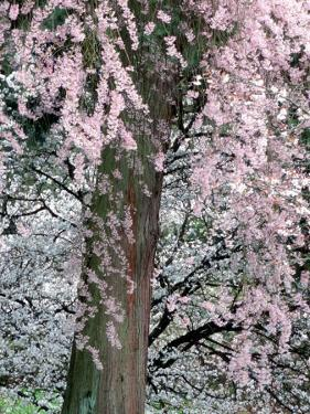 Cherry Blossoms and Red Cedar Tree Trunk, Washington, USA by William Sutton