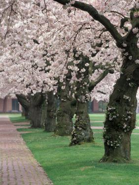 Cherry Blossoms at the University of Washington, Seattle, Washington, USA by William Sutton