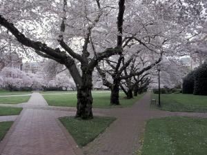 Cherry Blossoms on the University of Washington Campus, Seattle, Washington, USA by William Sutton