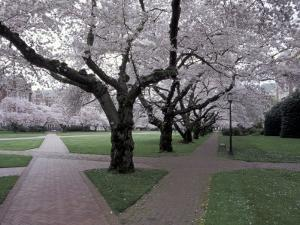 Cherry Blossoms on the University of Washington Campus, Seattle, Washington, USA by William Sutton