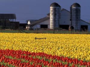 Field of Tulips and Barn with Silos, Skagit Valley, Washington, USA by William Sutton