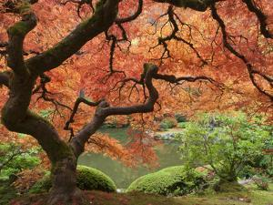 Japanese Maple, Portland Japanese Garden, Oregon, USA by William Sutton
