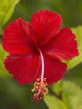 Red Hibiscus, Hibiscus Rosa-Sinensis, Belize by William Sutton