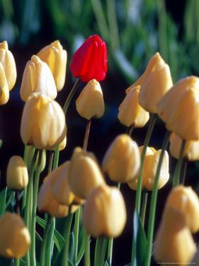 Red Tulip, Washington, USA by William Sutton