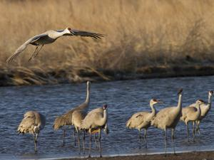 Sandhill Cranes (Grus Canadensis) Flying at Dusk, Platte River, Nebraska, USA by William Sutton