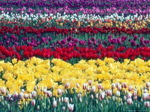 Tulip Display Garden in Skagit County, Washington, USA by William Sutton