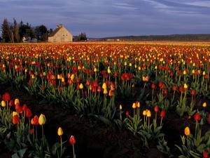 Tulip Field, Skagit Valley, Washington, USA by William Sutton