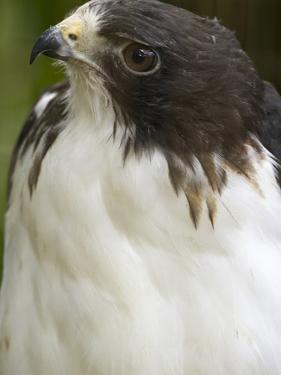 White-Tailed Hawk, Anton El Valle, Panama by William Sutton