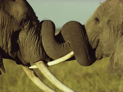 An Older Male African Elephant, Loxodonta Africana,Spars with a Younger One