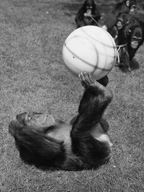 Chimps' Football by William Vanderson