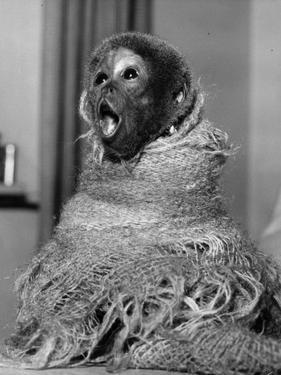 Woolly Monkey by William Vanderson