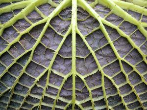 Leaf Underside with Stable Construction of Victoria Water Lily by Wilm Ihlenfeld