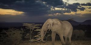 African Elephant (Loxodonta Africana) Bull 'One Ton' with Massive Tusks at Dusk by Wim van den Heever