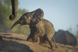 Baby African Elephant (Loxodonta Africana), Climbing Up A Riverbank, Chobe National Park, Botswana by Wim van den Heever