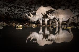 Black Rhinoceros (Diceros Bicornis) Mother and Calf Having a Drink by Wim van den Heever