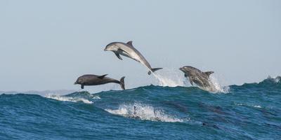 Bottlenosed Dolphins (Tursiops Truncatus) Porpoising During Annual Sardine Run