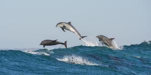 Bottlenosed Dolphins (Tursiops Truncatus) Porpoising During Annual Sardine Run by Wim van den Heever