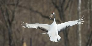 Japanese Crane (Grus Japonensis) Jumping in the Air, Hokkaido, Japan, March by Wim van den Heever