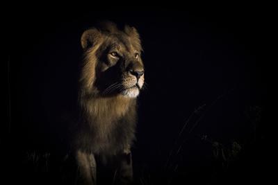 Lion (Panthera Leo) Male in Darkness, Okavango Delta, Botswana