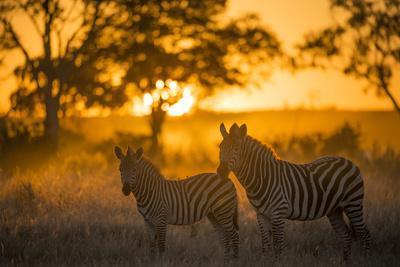 Plains Zebra (Equus Quagga) at Sunset, Savuti Marsh, Botswana