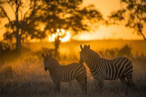 Plains Zebra (Equus Quagga) at Sunset, Savuti Marsh, Botswana by Wim van den Heever