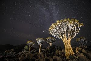 Quiver Trees (Aloe Dichotoma) with the Milky Way at Night, Keetmanshoop, Namibia by Wim van den Heever