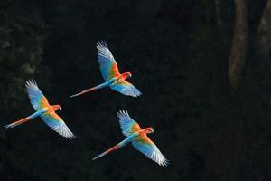 Red-And-Green Macaw (Ara Chloropterus) Group of Three in Flight, Pantanal, Brazil. August by Wim van den Heever