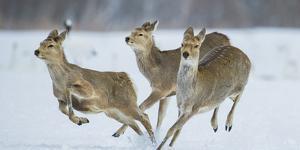 Sika Deer (Cervus Nippon) Three Females Running and Playing in Snow. Hokkaido, Japan, March by Wim van den Heever