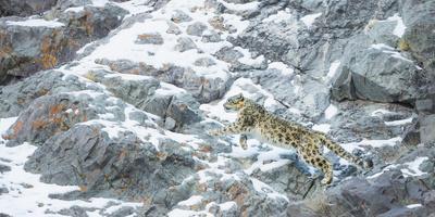 Snow Leopard (Panthera Uncia) Hemis National Park, India, February