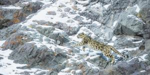 Snow Leopard (Panthera Uncia) Hemis National Park, India, February by Wim van den Heever