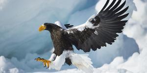 Steller's Sea-Eagle (Haliaeetus Pelagicus) Landing on Pack Ice, Hokkaido, Japan, February by Wim van den Heever