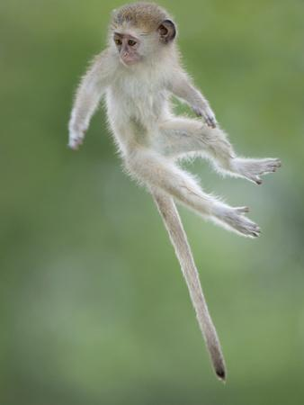 Vervet Monkey (Chlorocebus Pygerythrus) Baby Jumping Between Branches, Photographed Mid Air