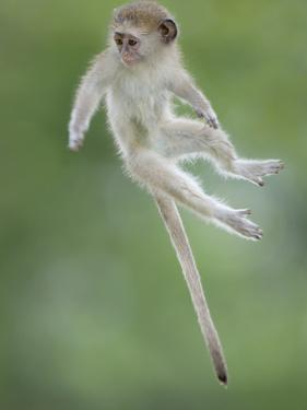 Vervet Monkey (Chlorocebus Pygerythrus) Baby Jumping Between Branches, Photographed Mid Air by Wim van den Heever